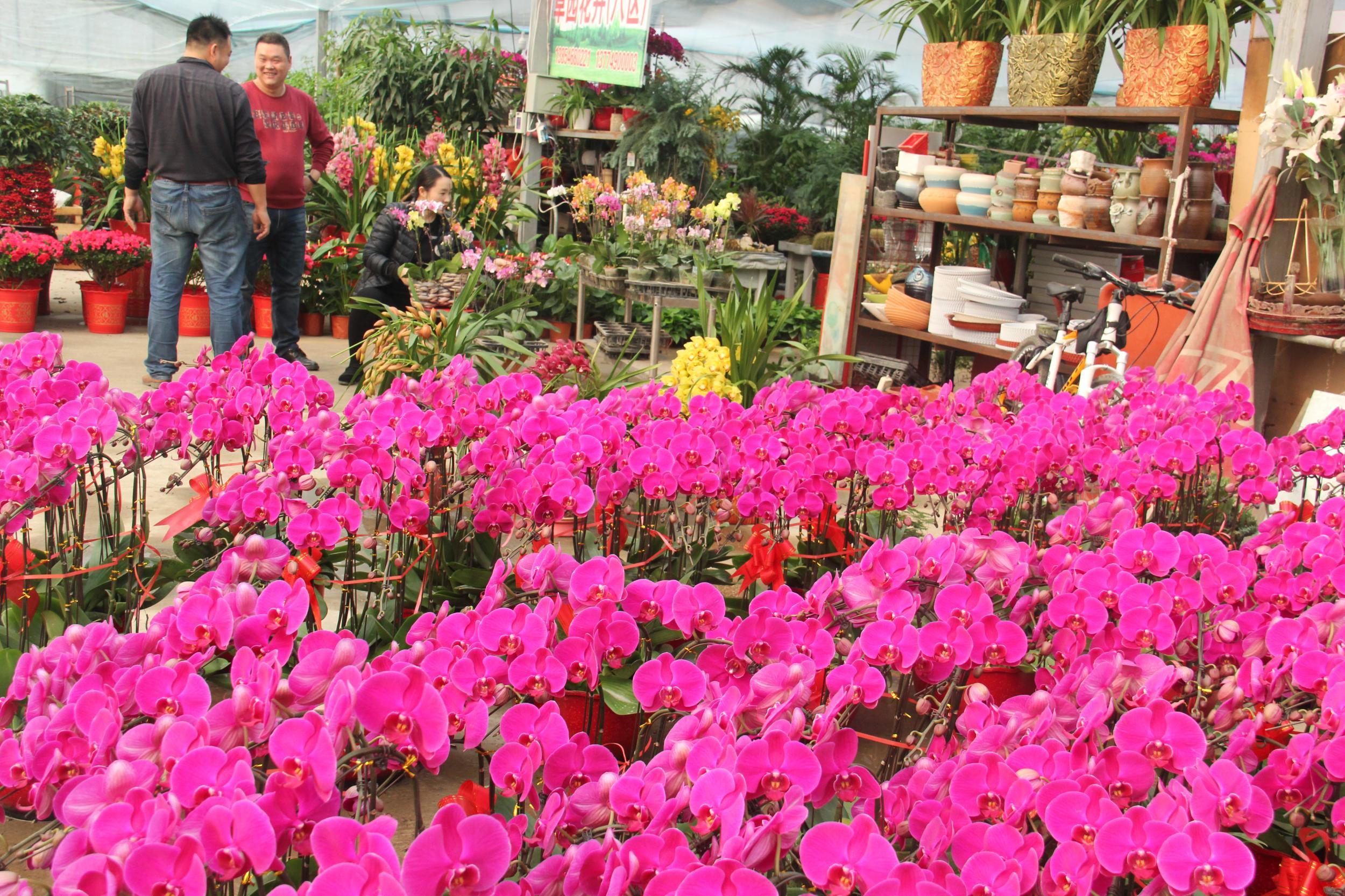春节临近 年宵花市场开始升温进入节前销售旺季