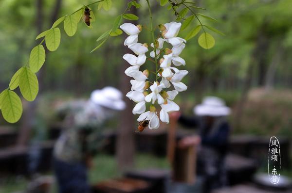 【风雅颂·东营】槐花开了,孤岛最美的时光到了,东营人的诗意和远方