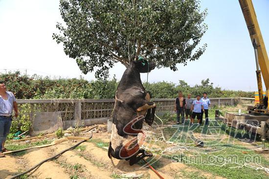 烟台800余斤大牛坠入14米深井 20余名警民用吊车施救
